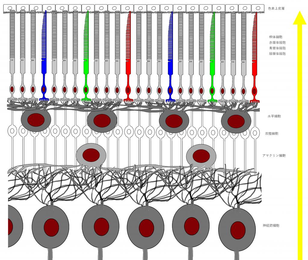 網膜 錐体細胞 桿体細胞 水平細胞 双極細胞 アマクリン細胞 神経節細胞